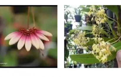 Jual Anggrek Hybrid Dan Spesies Yang Sehat  di Jakarta Pusat  WA 082189307012