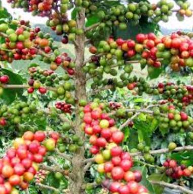 Prospek Pengembangan Kopi Mamasa Sebagai Obyek Agrowisata