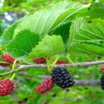 Manfaat Tanaman Murberry Bagi Kesehatan Tubuh