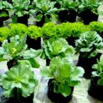 Tips Menanam Sayuran Yang Bebas Zat Kimia